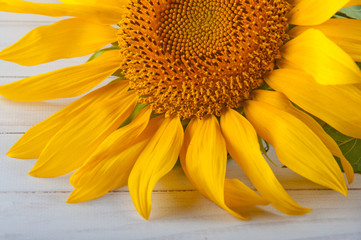 Detail of yellow sunflower laying on white background