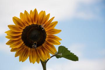 Sonnenblume mit Hummel / Biene