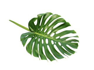 Monstera large tropical jungle leaf Swiss Cheese Plant, isolated on white background
