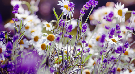 Meadow background with Lavender and Daisy flowers