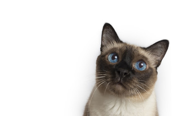 Ariel view of a beautiful Siamese adult cat looking up, looks like thinking on white background, isolated