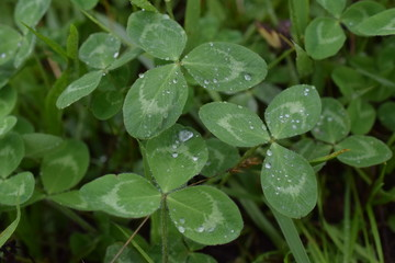 Clover with rain drops