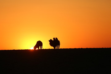 Silhouette of two camels by the sunset time