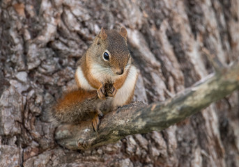 Red Squirrel in Acadia National Park