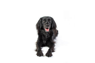 Black Lab Mix isolated on white background with fuzzy ears looking at camera