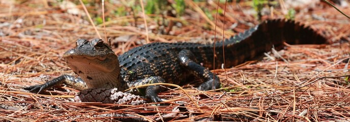 Young Juvenile Baby Alligator Basking in the Florida Sun