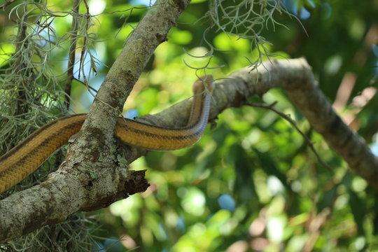 Beautiful Yellow Rat Snake Climbing a Tree