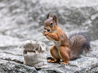 fluffy red squirrel standing on grey stone and eating nut from cloth bag closeup view
