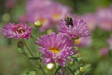 the bumblebee collects honey from chrysanthemums