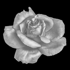 Monochrome black and white fine art still life floral macro flower portrait of a single isolated rose blossom with rain water drop amd detailed texture
