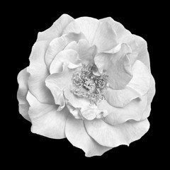 Fine art still life monochrome black and white top view macro flower portrait image of an isolated wide open rose blossom with detailed texture in vintage painting style on black background