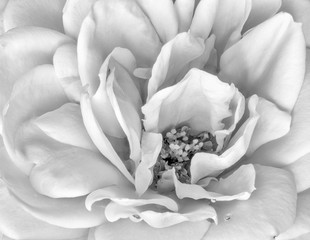Monochrome black and white fine art still life floral macro flower image of the inner of a single isolated rose blossom with rain water drop amd detailed texture