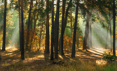 walk in the forest. sunny morning. the lights of a sun.