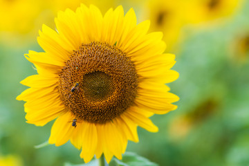 A close-up of one young bright yellow sunflower on a sunflower field in a warm sunny day, the background is blurred, a blue noob