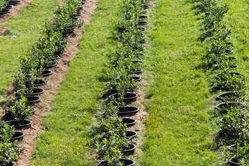 Young blueberry bushes on organic plantation. Orchard in summer. First growing season. Profitable business