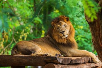 lion resting near a tree