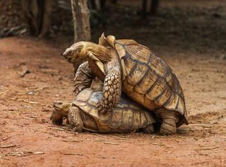 Aldabra giant tortoise (Aldabrachelys gigantea) mating in garden