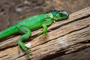 Lesser Antillean Green Iguana (Iguana delicatissima)