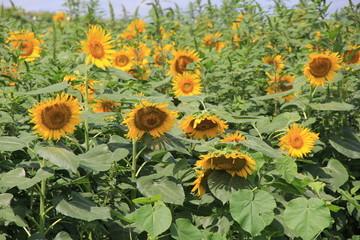 満開のひまわり畑(宮城県)