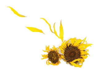 Dry sunflower petals isolated on white background, top view