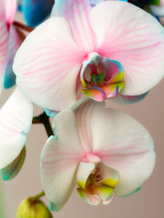 Fototapete - Beautiful orchid background
