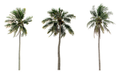 Green Coconut palm trees in the garden isolated on white background