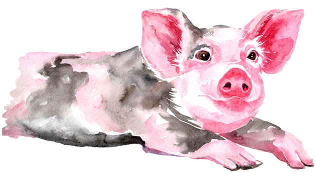Isolated watercolor clipart with watercolor pig.