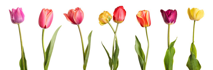In de dag Tulp Flowers. Row of beautiful colorful tulips isolated on white background