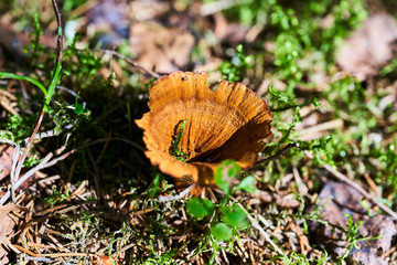 inedible mushrooms in the forest in nature