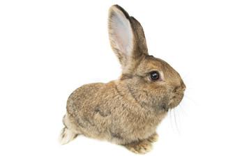 rabbit isolated on white