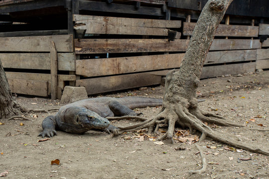 The Komodo dragon is the biggest living lizard in the world. Island Rinca. Indonesia.