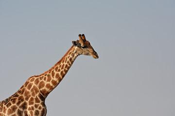Giraffe (giraffa camelopardalis) im Etosha Nationalpark