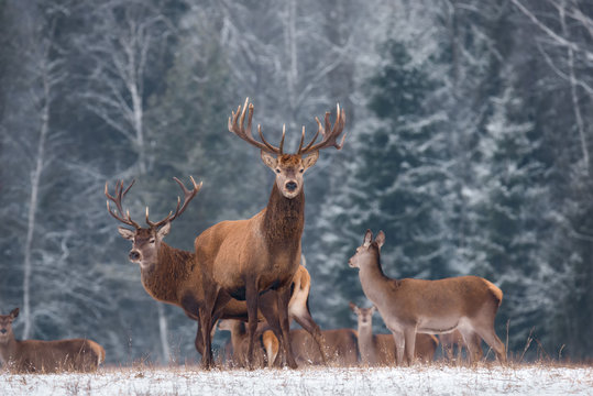 Deer ( Cervus Elaphus ) In The Natural Habitat, Winter Time, Vitebsk Region, Belarus. Adult  Deer  Stag With Big Horns In Beautiful Pose On The Edge Of The Winter Forest. Great Deer Buck ( Cervidae )