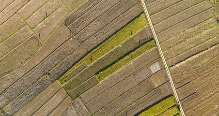 Beautiful rice field harvest season aerial view with line pattern in Yogyakarta, Java Island, Indonesia