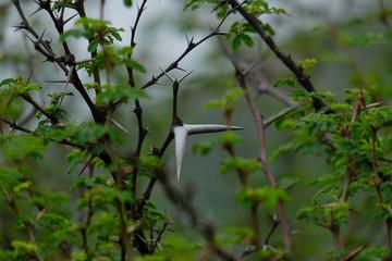 Babul Acacia white sharp thorn in tropical forest, Maharashtra, India