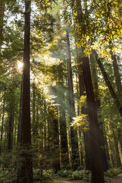 Sunlight through the redwood trees
