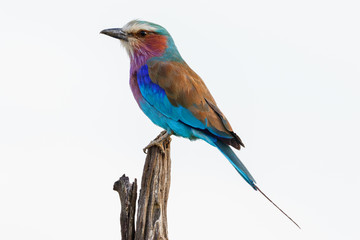Close up of a Lilac-breasted roller sitting on a stick and looking