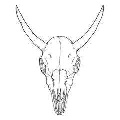 Vector Single Sketch Illustration - Skull of Cow. Front View.