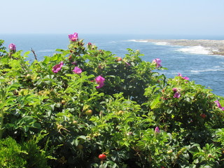 Focus is on the wild rose plant and rose hips with a blurred background of the ocean and waves crashing against the rocky shore