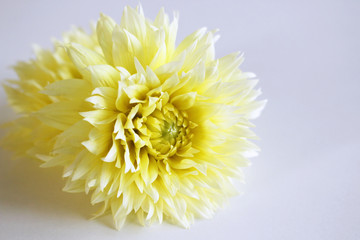 Dahlia yellow isolate on a wooden table for design of valentine's cards.Blurred background.