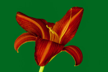Fine art still life color macro image of a single isolated wide open red daylily blossom with stem on green background with detailed texture in vintage painting style