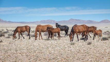 Wüstenpferde in Namibia