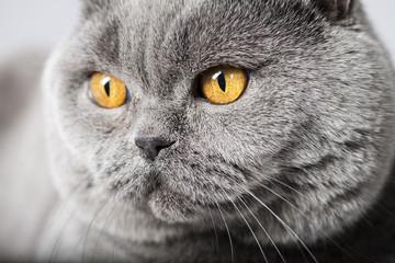British Shorthair Face Close-Up