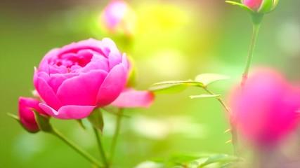 Fotoväggar - Beautiful rose blooming. Pink rose flower growing in summer garden. Slow motion. 3840X2160 4K UHD video footage