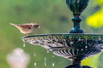 sparrow drinking water Wall mural