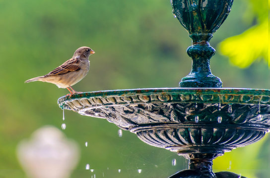 sparrow standing about to drinking water