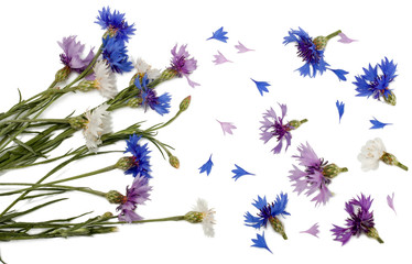 Flowers of cornflowers isolated on white