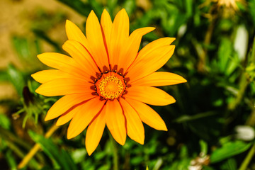Close up of wild yellow flower in nature.