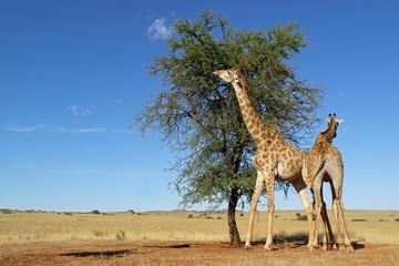 Giraffes (Giraffa camelopardalis) feeding on a thorn tree, South Africa.