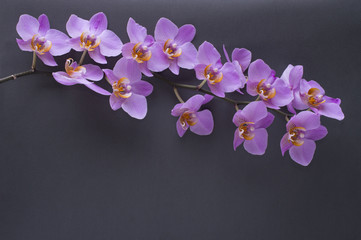 romantic branch of pink orchid on gray background.